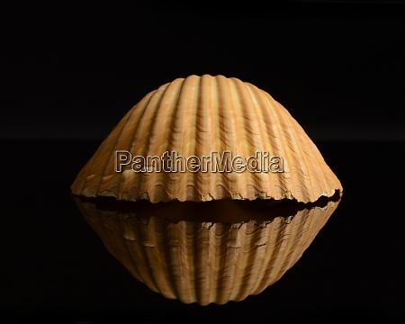 seashell stillleben