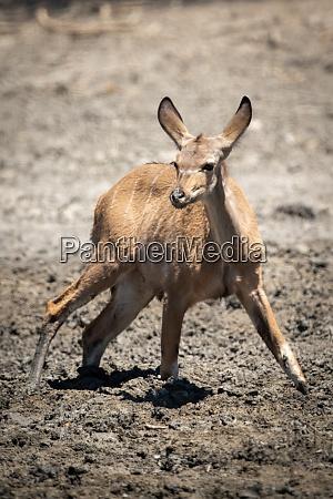 weibliche groessere kudu steht in schlammigem