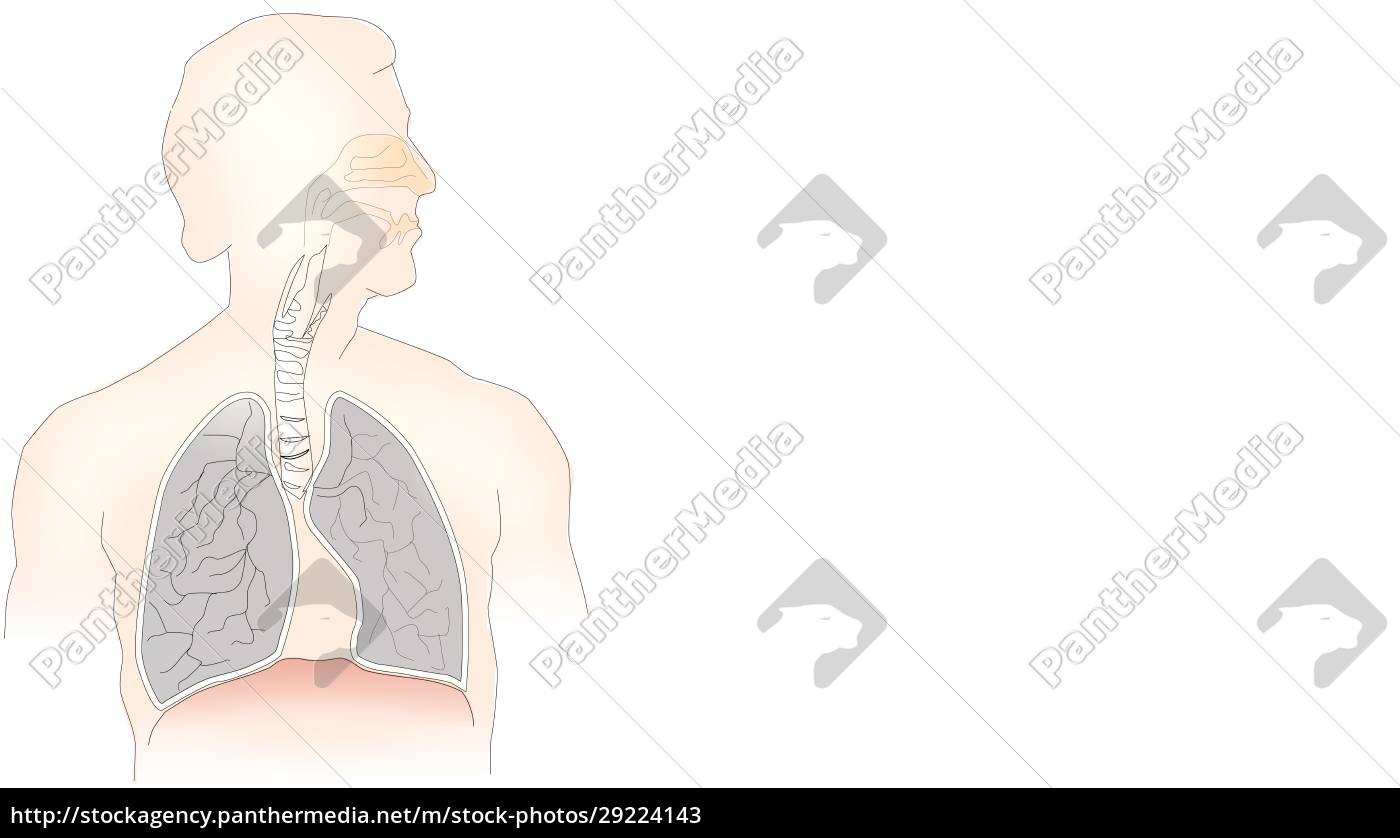 info-graphic, illustration, of, lungs, on, white - 29224143