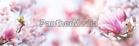 rosa bluehender magnolia baum im fruehling