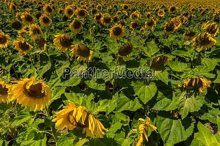 viele sonnenblumen auf einem feld im