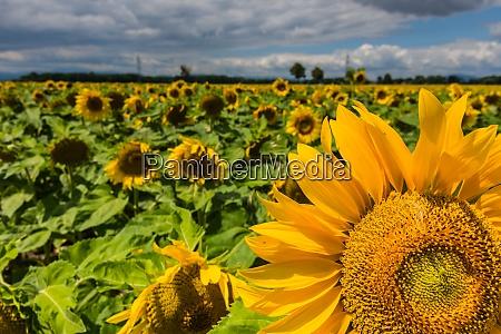 sonnenblumen im sommer mit sonnenblumen detailansicht