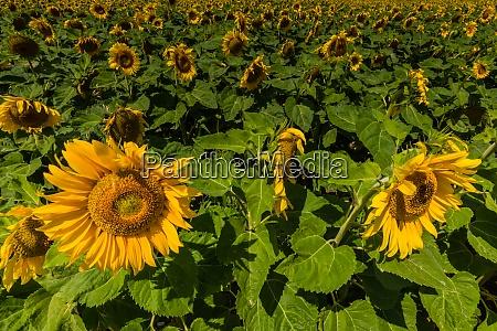 viele sonnenblumen hintereinander auf einem feld