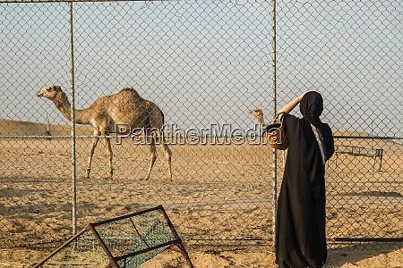 vom arabischen wuestenkamel vereinigte arabische emirate
