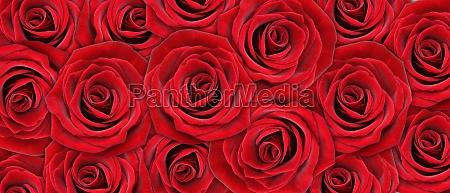 schoene rose hintergrund fuer valentinstag