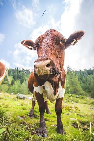 weitwinkel neugieriger brauner kuh auf der