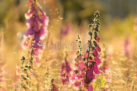 lila fuchshandschuh digitalis purpurea bei