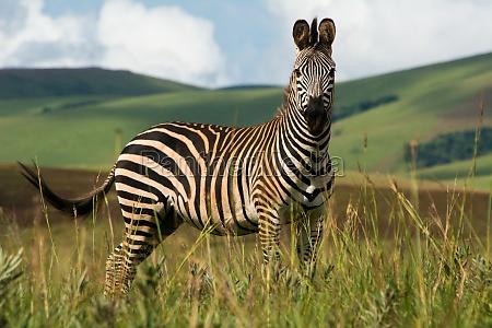 ein zebra steht im nyika nationalpark