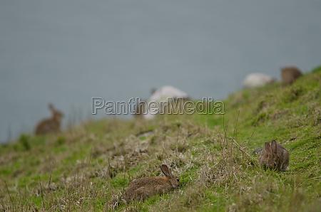 europaeische kaninchen weiden