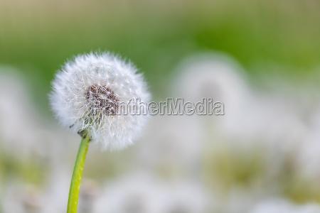 schoene fruehlingsblume loewenzahn in wiese