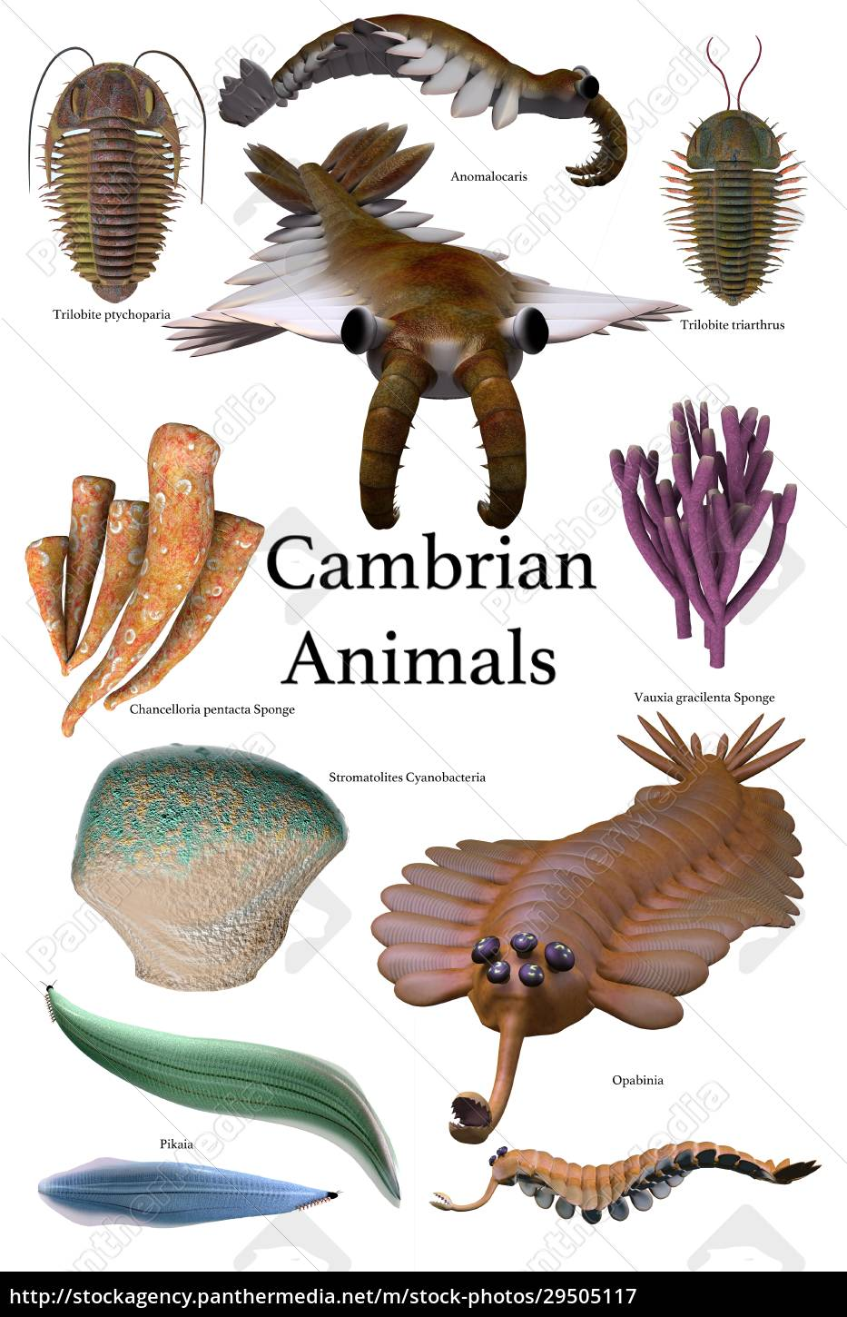 cambrian, animals - 29505117