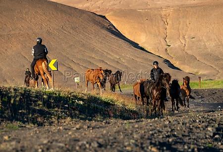 eine herde islaendischer pferde auf einer