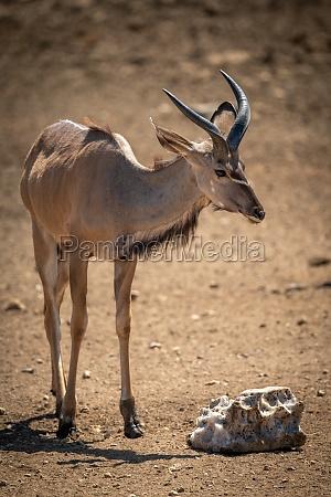 maennlicher groesser kudu geht in richtung