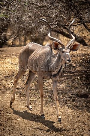 maennlich er gross kudu zu fuss
