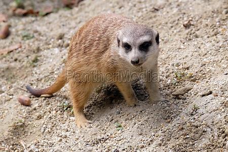 meerkat auf der wache
