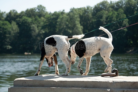 two, fox, terrier, dogs, stand, on - 29577528