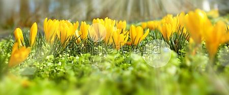 gelb bluehende krokus im sonnigen fruehling