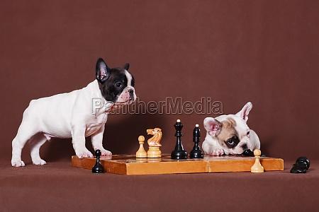 verspielte franzoesische bulldogge welpen an einem