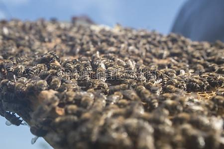 waben mit westlichen honigbienen