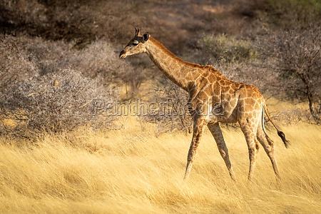 suedliche giraffe geht an bueschen in