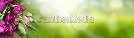 tulpen auf gruenem fruehlingshintergrund