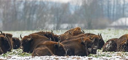 european, bison, herd, resting, in, snowy - 29624203
