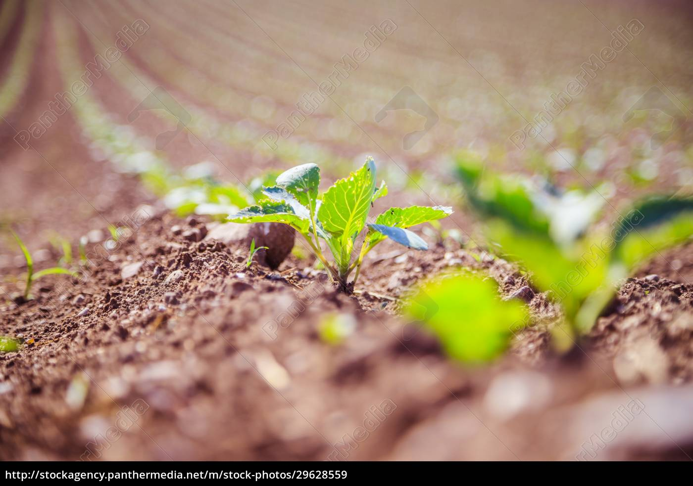 fresh, green, plants, on, an, agriculture - 29628559