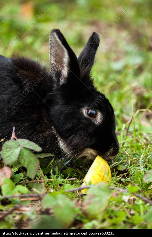 schwarzes, kaninchen, das, einen, apfel, isst. - 29633235