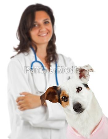 jack russell mit tierarzt auf weissem