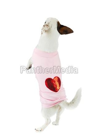junger jack russel mit rosa kleid