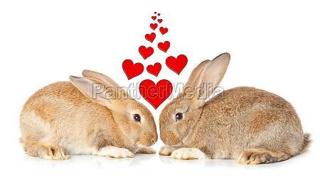 tow, niedliche, kaninchen, in, der, liebe - 29637352