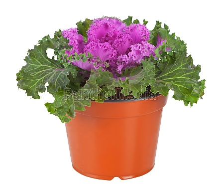 ornamental, purple, kale, oder, kohl - 29638551