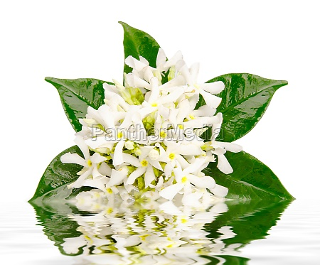 jasmine, flowers, with, reflection, in, water - 29644336