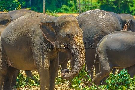 elefantenwaisenhaus sri lanka pinnawara