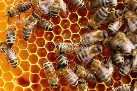 bienen bekommen honig bienen arbeiten auf