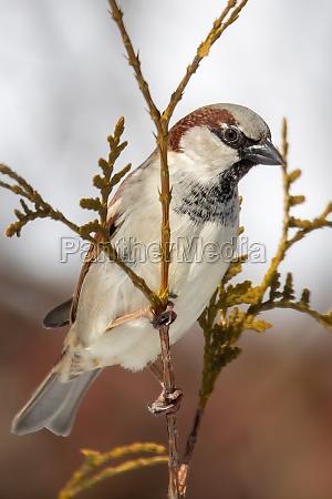 schoene kleine vogelhaus sperling im winter