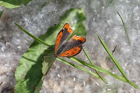 baumwollholz saison makro outdoor pappel samen