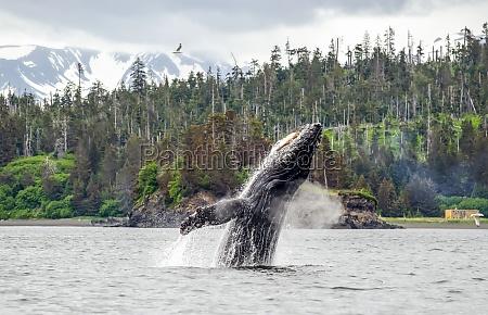 buckelwal megaptera novaeanglia auftaucht und durchbrechendes