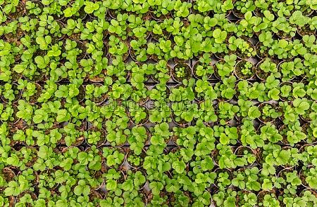 erdbeersaemlinge pflanzen