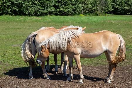 zwei pferde stehen auf dem weisen