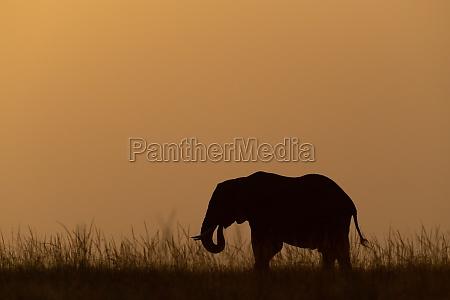 afrikanischer buschelefant frisst gras bei sonnenuntergang