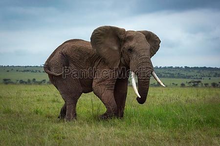 afrikanischer buschelefant geht durch grasbewachsene ebene
