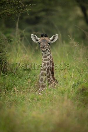 baby, masai, giraffe, liegt, im, langen - 29701262