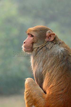rhesus makakenaffe indien