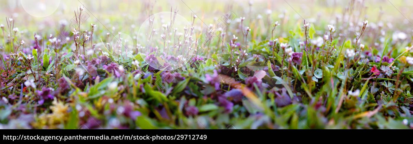lila, blühende, blumen, im, frühling - 29712749