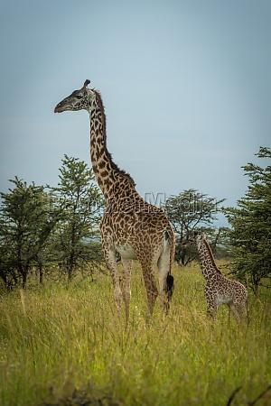 masai giraffe und baby stehen in