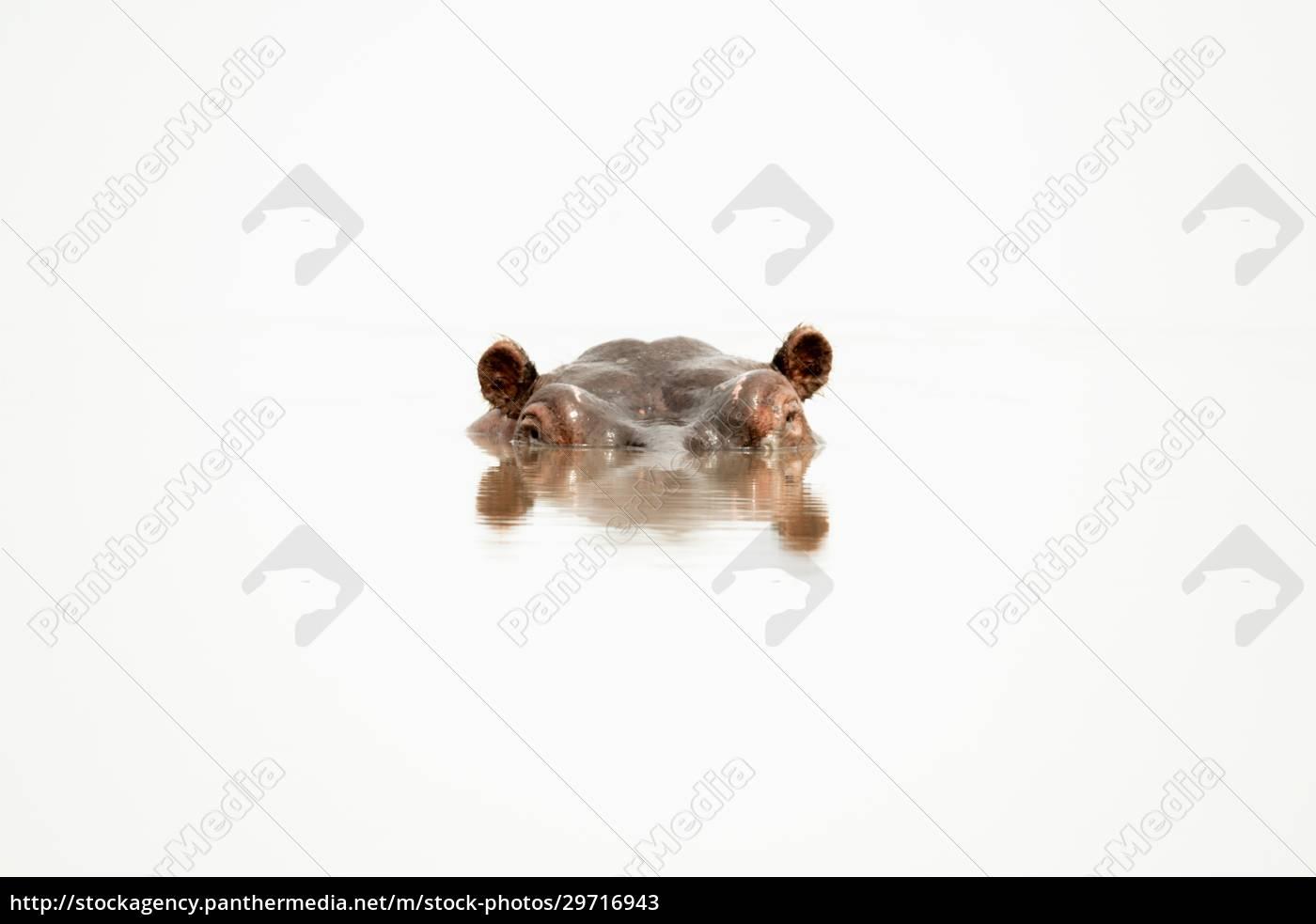 hippokopf, mit, zerrissener, reflexion, im, wasserloch - 29716943