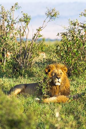 koenig von afrika portraet des loewen