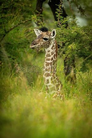 junge masai giraffe liegt im langen