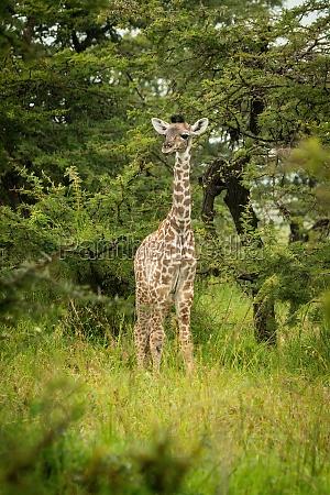 junge masai giraffe steht auf graslicht